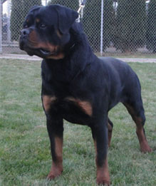 Adorable Rottweiler Puppies For Sale Lochavens Rottweilers